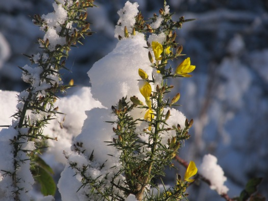 gorse in snow.JPG